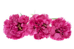 Pink carnation flowers isolated Royalty Free Stock Photography
