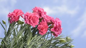 Pink carnation flowers. Several bright pink carnation flowers under sky stock footage