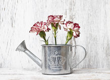 Pink carnation flowers in silver watering can Royalty Free Stock Photography