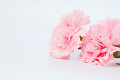 Pink carnation flowers are on white background Royalty Free Stock Image