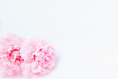 Pink carnation flowers are on white background Royalty Free Stock Images