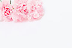 Pink carnation flowers are on white background Stock Images