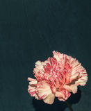 Pink carnation in front of black slate Stock Photography