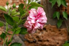 Pink carnation in full bloom royalty free stock photography