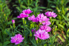 Pink Carnation garden Royalty Free Stock Images