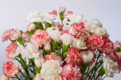 Pink carnation Stock Images
