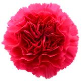 Pink Carnation head Stock Images