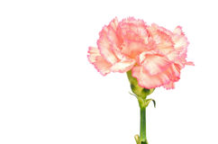 Pink Carnation Isolated Stock Photo