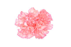 Pink Carnation Isolated Stock Photos