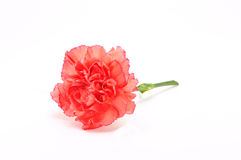 Pink Carnation Isolated on white Stock Photos