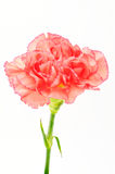 Pink Carnation Isolated on white background Royalty Free Stock Photography