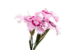 Pink carnation isolated Stock Image