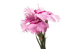 Pink carnation isolated Royalty Free Stock Image