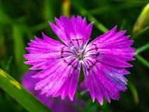 Pink carnation on the meadow in summer. royalty free stock photo
