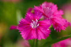 Pink carnation with pollen Stock Image