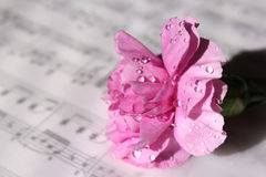 Pink Carnation. A pretty pink carnation with water drops on sheet music royalty free stock image