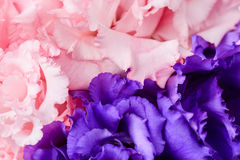 Pink carnation and purple carnation flower Stock Image