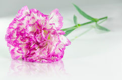 Pink carnation and reflection Stock Photo