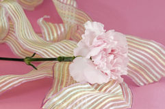 Pink carnation and ribbon Royalty Free Stock Image