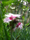 Pink carnation and small beetle on it Royalty Free Stock Image