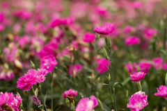 Pink Carnation in soft pink tone Stock Images
