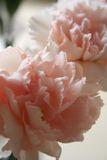 Pink carnations 1. Close up of two soft pink carnations stock image
