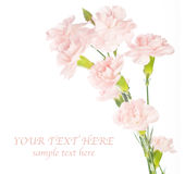 Pink carnations. Over white with space for text. greeting card Stock Photo