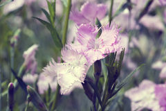 Pink carnations Stock Photo