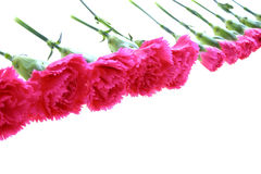 Pink carnations Royalty Free Stock Photos