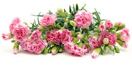 Pink carnations Royalty Free Stock Image