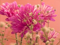 Pink Carnations. This is a macro shot of a small group of pink carnations stock photos
