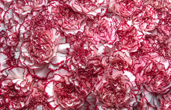 Pink carnations background Stock Photos