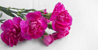 Pink carnations Royalty Free Stock Photography