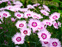 Pink carnations. Flowers pink carnations are outdoors Stock Photography