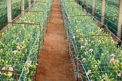 Pink carnations growing on a plantation close-up. Plantation carnations. pink flowers in the rays close-up Stock Photos