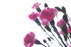 Pink carnations isolated Stock Photography