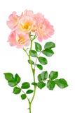 Pink carpet rose cluster Stock Images