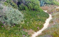 Pink Carpobrotus flowers and sandy path. Royalty Free Stock Photos