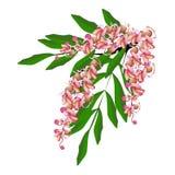 Pink Cassia Fistula Flower Isolated on White Background Stock Photos