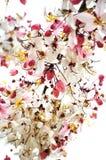 Pink cassia flower bouquet Stock Photos