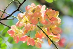 Pink Cassia Stock Photography
