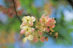 Pink Cassia. Cassia is a genus of flowering plants in the legume family, Fabaceae, and the subfamily Caesalpinioideae. Species are known commonly as cassias Stock Photo