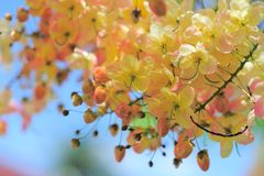 Pink Cassia. Cassia is a genus of flowering plants in the legume family, Fabaceae, and the subfamily Caesalpinioideae. Species are known commonly as cassias Stock Images