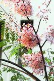 Pink cassia Stock Images