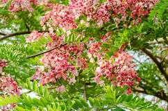 Pink Cassia javanica flower with green leaves Royalty Free Stock Photos