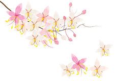 Pink cassia or wishing tree flower on white background,vector illustration Royalty Free Stock Photos