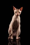 Pink Cat of breed Sphynx Sits. Naked cat with Mirror on Black Royalty Free Stock Photo