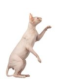 Pink Cat Sphynx Sits and Raising Up Paw Isolated on White Royalty Free Stock Photo