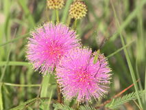 Pink Catclaw Mimosa and Friend. Close-up of two vibrant pink catclaw mimosa flowers in a green country field and a little green bug visitor stock photos