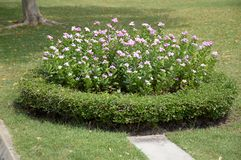 Pink Catharanthus roseus flower Stock Photo
